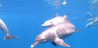 Egypte dolfijnen
