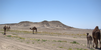Kamelen Egypte