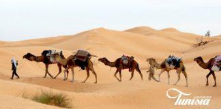 Kamelen Tunsië