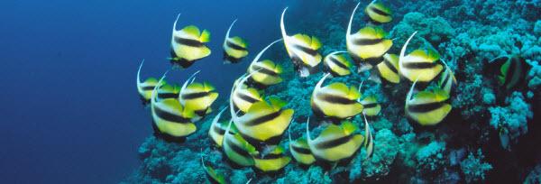 vlindervissen