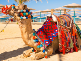Kameel Egypte