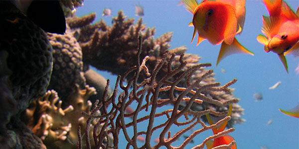 Oranje, rode visjes bij een stuk koraal in de zee.